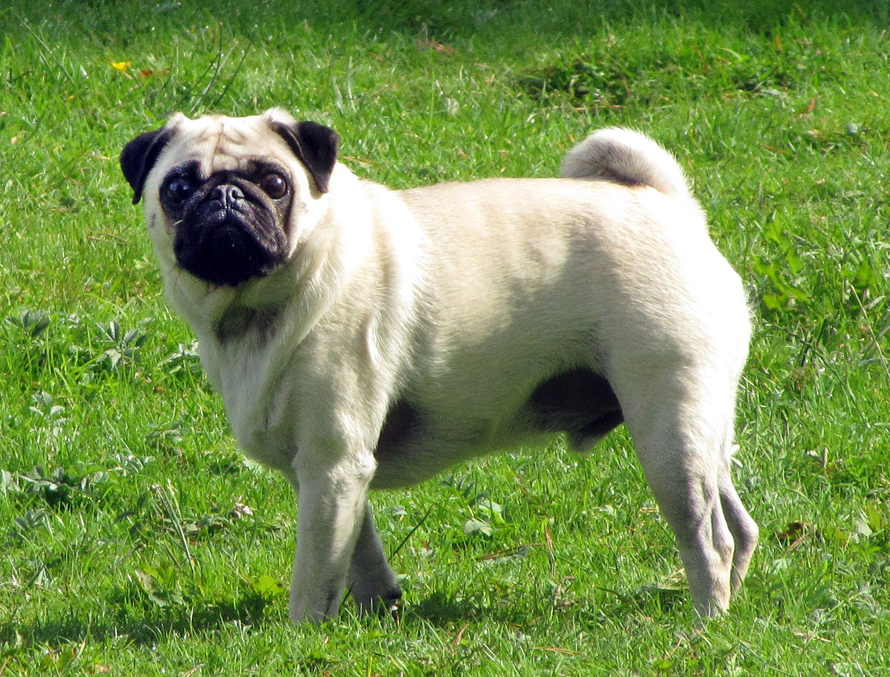1280px-Fawn_pug_2.5year-old